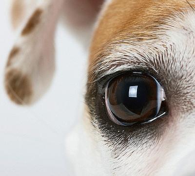 Saiba como evitar as doenças oftalmológicas mais comuns em cães